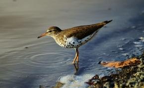 Spotted Sandpiper searches the water's edge for invertebrates